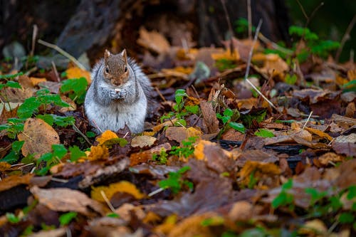 A Grey Squirrel Standing on Dry Leaves