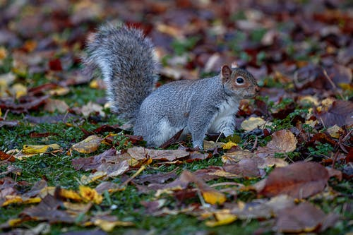 Close-Up Shot of a Grey Squirrel Standing on Dry Leaves
