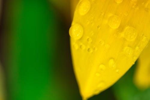 Dewdrops on petal of daffodil