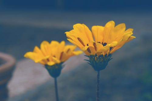 Безкоштовне стокове фото на тему «елемент, жовтий синій, жовті квіти, квіти»