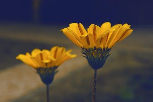 Безкоштовне стокове фото на тему «елемент, жовтий, жовтий синій, жовті квіти»