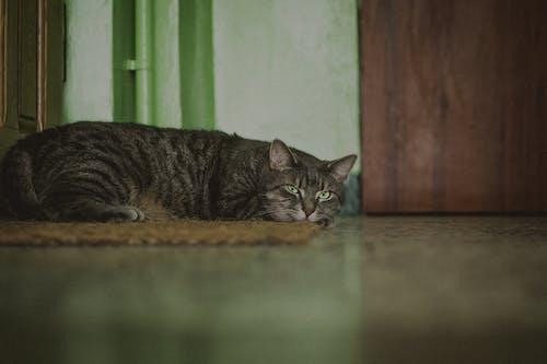 A Tabby Cat Lying Down on the Floor