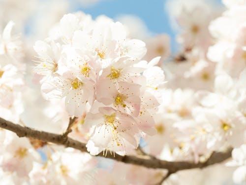 Blooming sakura in park in sunlight