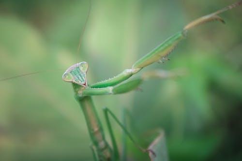 Close-Up Shot of a Praying Mantis