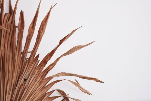 Brown Wheat Plant on White Background