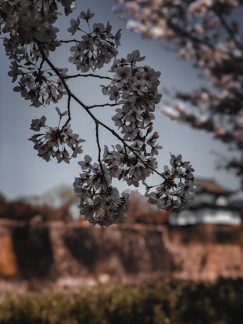 Free stock photo of cherry blossom, japan