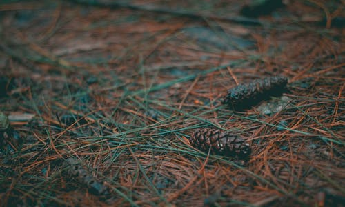 Two Brown Conifer Cones