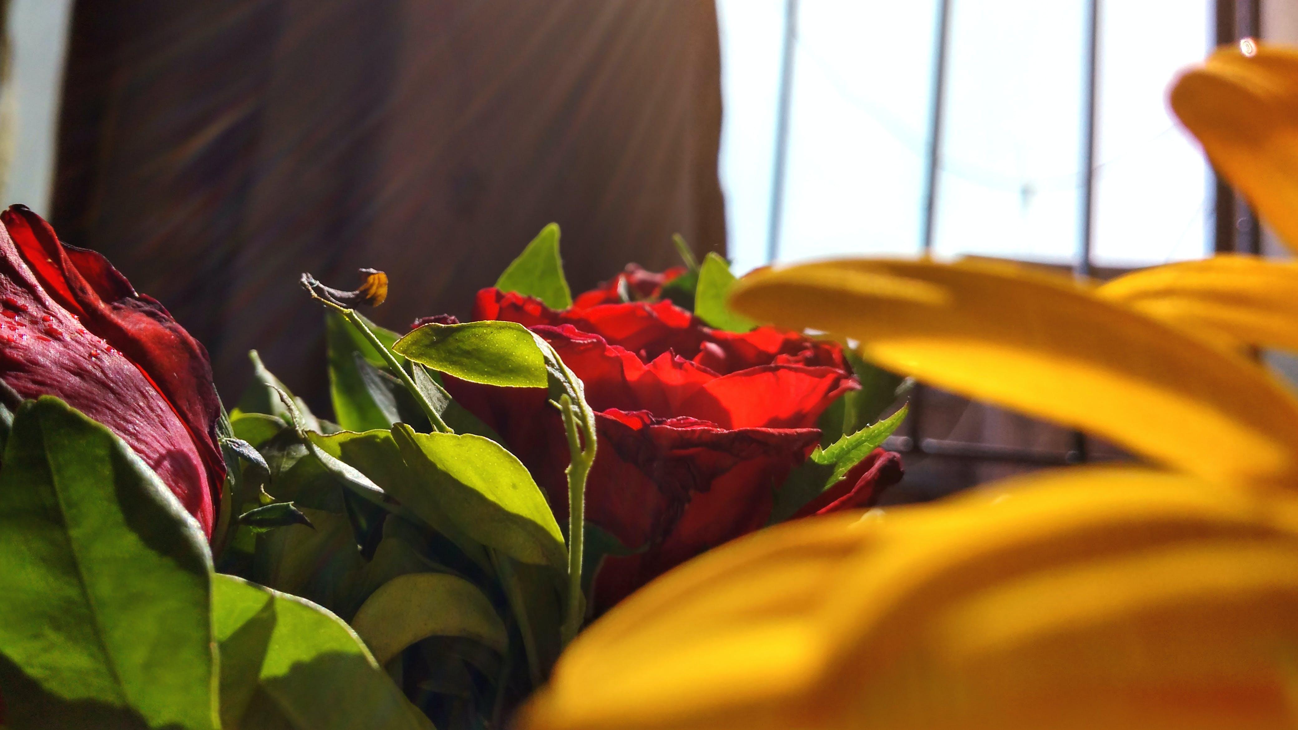 Free stock photo of roses, sunlight, sunflower