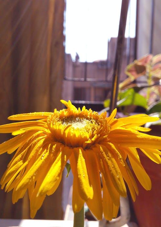 giallo, girasole, luce del sole
