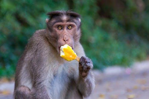 Brown Monkey Eating Yellow Ice Cream