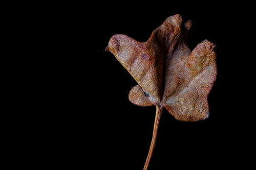 Old dried leaf with inflated uneven surface of different brown color tones with fragile structure on thin stalk in darkness
