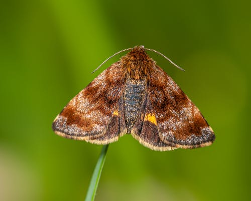 Bright moth with different brown color shades on wings and thin antennae sitting on stem on blurred green background in daylight