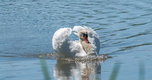 Graceful swan with spread wings swimming in lake in daylight