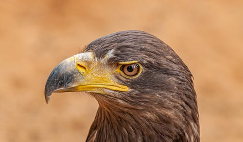 Golden eagle with pointed beak on brown background