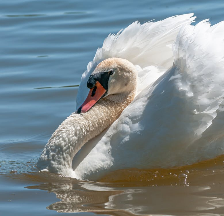 White swan floating on river in sunlight
