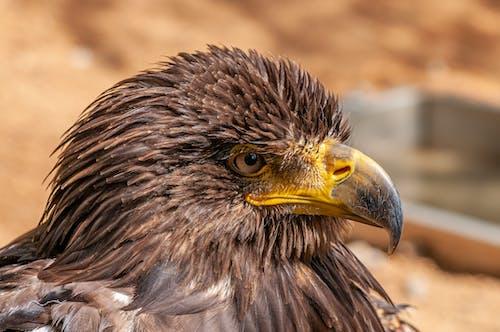 Fotos de stock gratuitas de águila, al aire libre, ala