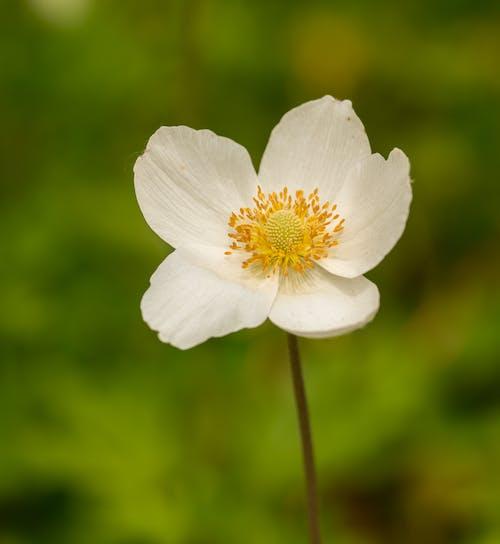 Immagine gratuita di ambiente, anemone canadensis, aroma