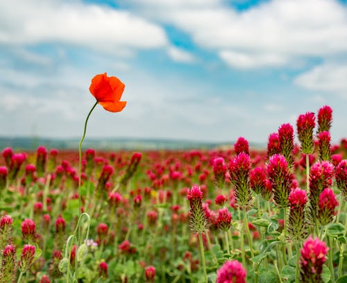 Red poppy growing on red clover field