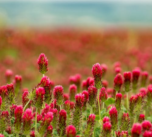 Bright tender red clovers growing on sunny lawn in countryside on summer day