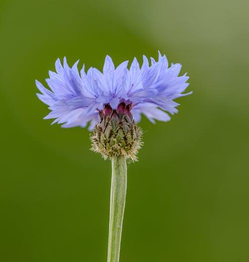 Blue cornflower growing on lush lawn