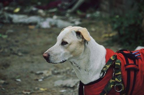 White Short Coated Dog Wearing Red Dog Clothes