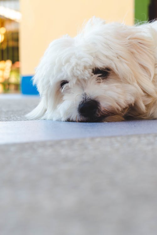 White Long Coated Small Dog on Grey Concrete Floor