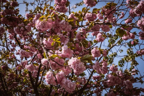 From below wonderful tender cherry blossom with delicate pink flowers growing in sunny garden against blue sky