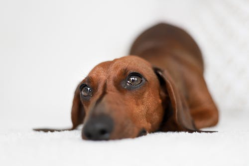 Adorable smooth haired Dachshund lying on bed