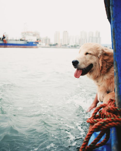 Curious Golden Retriever dog enjoying ride on riverboat