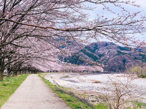 Picturesque scenery of peaceful pond in park with amazing blossoming cherry trees in Japan