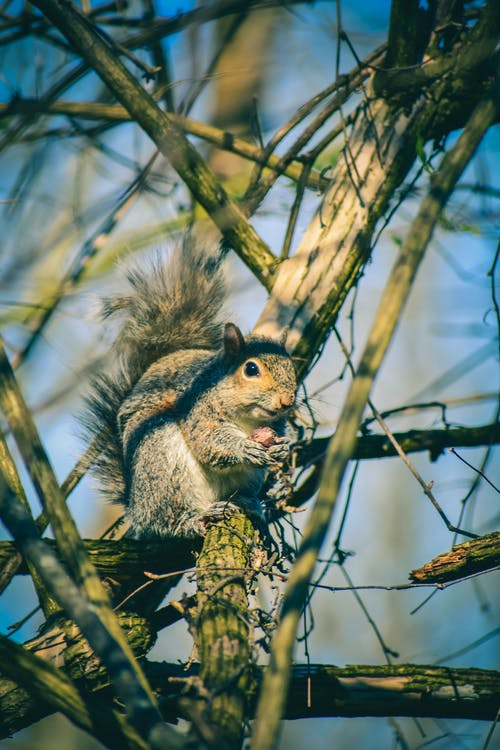 Low angle of cute fluffy squirrel sitting on tree branch and gnawing nut in forest on sunny day