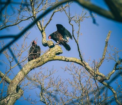 Turkey buzzards sitting on tree branch on sunny day