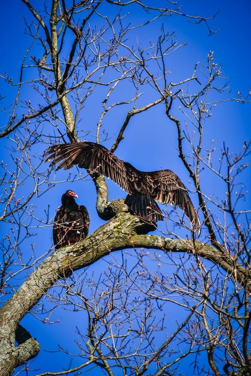Black turkey vulture birds on tree