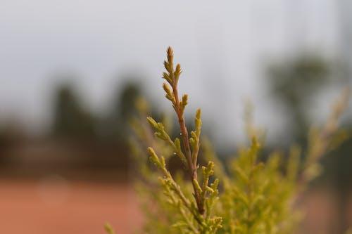 Free stock photo of Japanese cedar, macro photo, macro photography