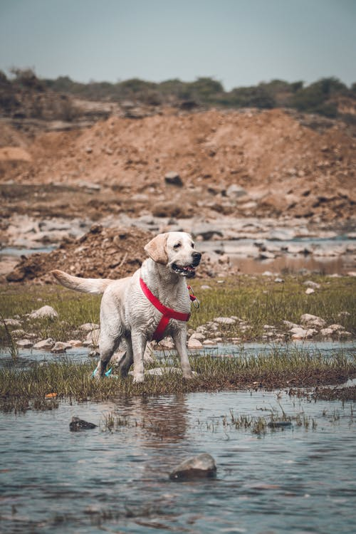 Adorable Labrador Retriever dog with red collar standing alone near puddle in rough stony terrain on sunny day