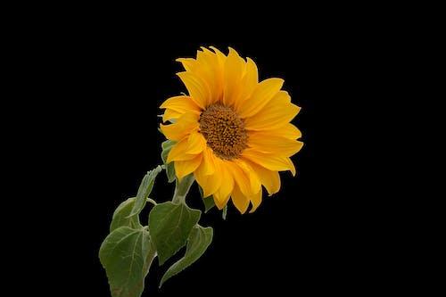Photos gratuites de ã © tã ©, botanique, fleur, fleur jaune