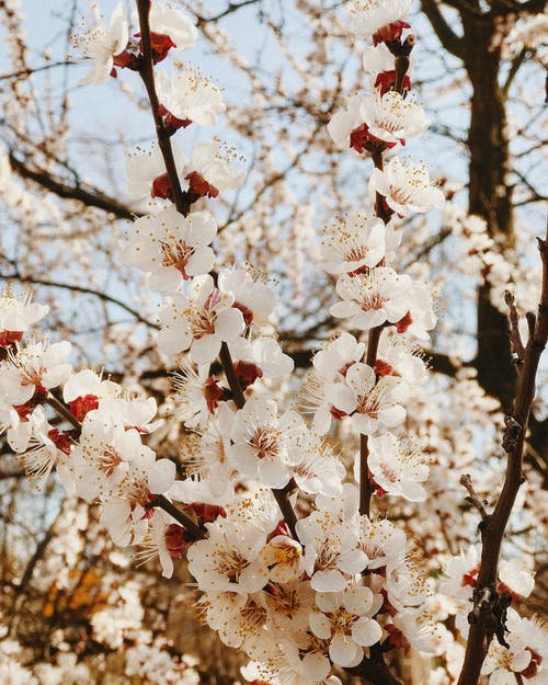 White and Red Cherry Blossom Tree