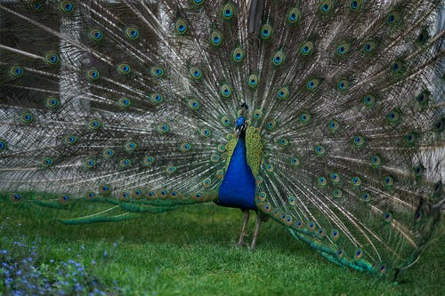 Gorgeous peacock with blue body and colorful open feathers standing on green grass near blooming flowers in park