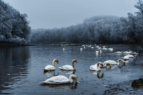 คลังภาพถ่ายฟรี ของ การสะท้อน, ทะเลสาป, ธรรมชาติ, นก