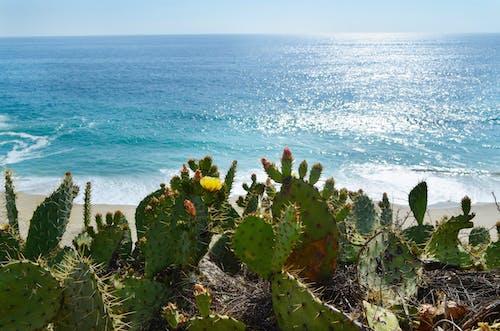 Free stock photo of beach, beaches, cactus, california