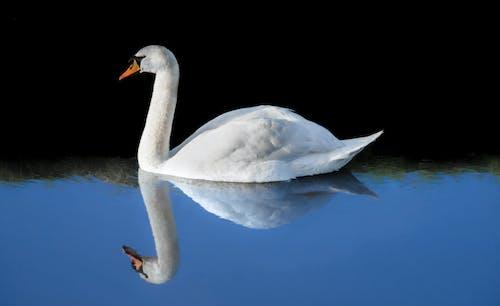 Gratis lagerfoto af dam, dyr, refleksion, sø