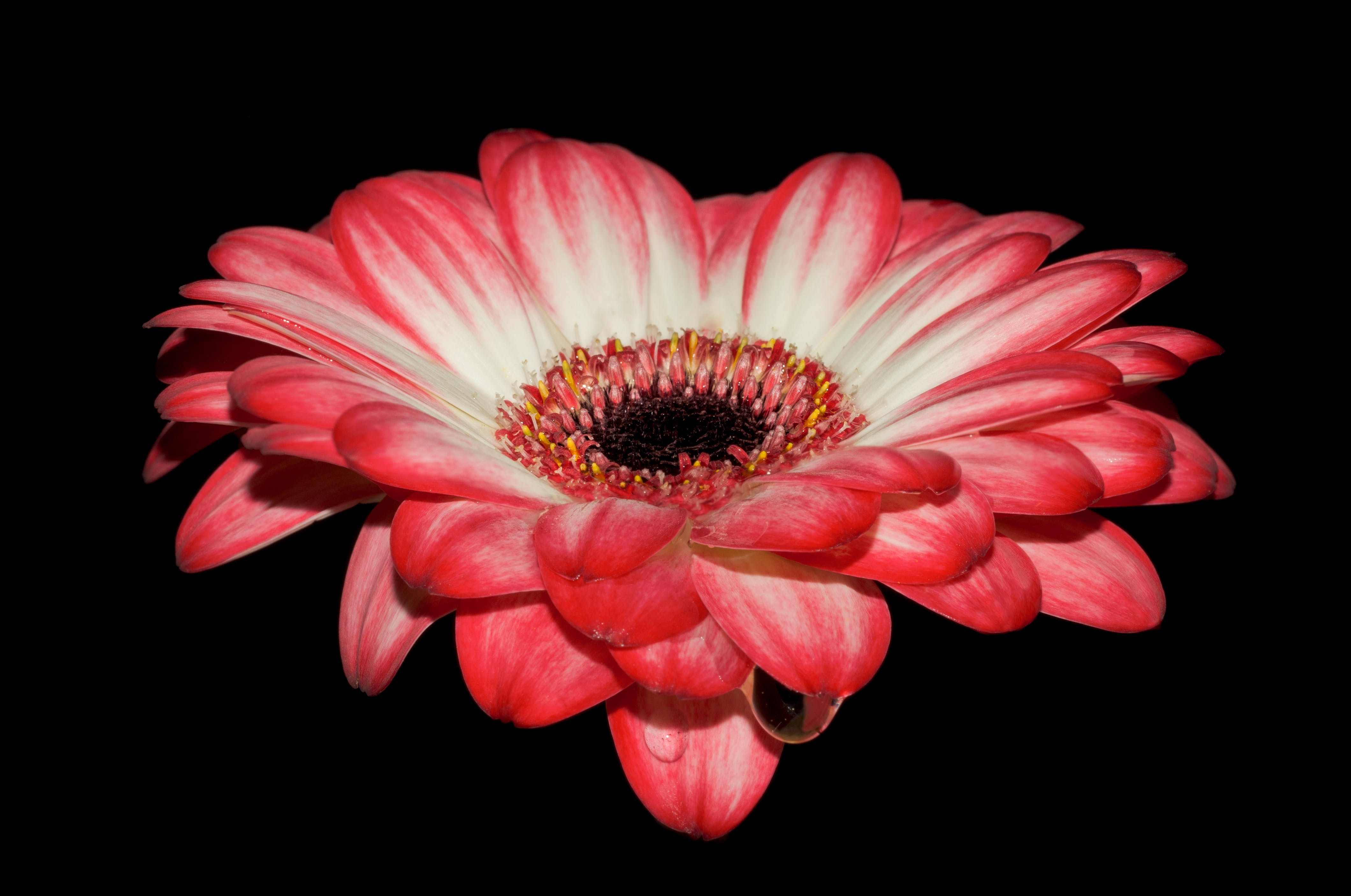 Red and White Petal Flower