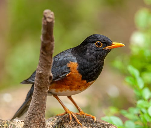 Close-Up Photo Of American Robin