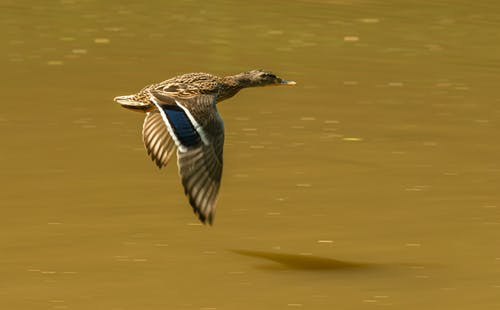 Side view of drake flapping wings while flying fast over lake with dark water