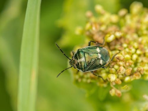 Top view of rapeseed bug sitting on yellow blooming plant among green plants