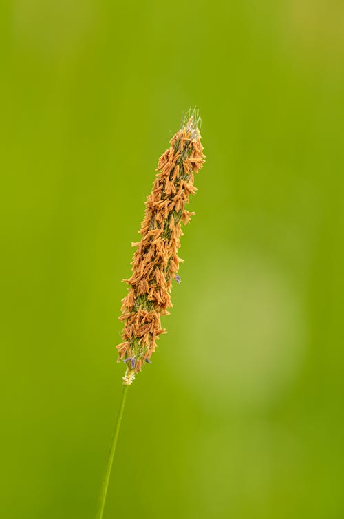 Closeup of long stem of brown plant growing in meadow on green blurred background
