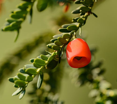 Red berries on green branch of yew berry