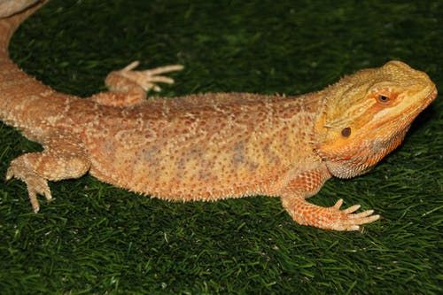 Brown and Orange Bearded Dragon on Green Grass