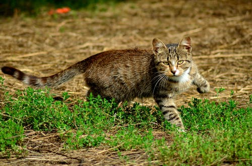Photo Of Tabby Cat Walking On Grass