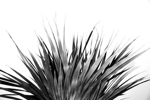 Fan shaped leaf of palm